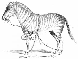 horsemen-john-solomon-rarey-horse-strapped-up-300x228